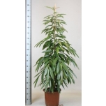 Ficus Viigipuu 30cm Amstel King