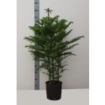 Araucaria Araukaaria 23cm