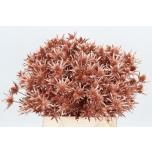 Eryngium Ogaputk 40cm värvitud Copper