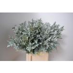 Quercus 80cm mix Tamme oksad Palustris värvitud valge