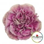 Nelk Antiqua Bicolor roosa EQ 20TK