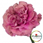 Dianthus Carnation Nelk Edmon EQ 20TK