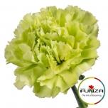 Dianthus Carnation Nelk Green Marty
