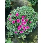 Chrysanthemum multiflora ´Gardenmums´ 19cm GER