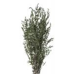Parvifolia Vert 40/80