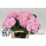 Hydrangea Hortensia lollipop pink 60cm