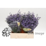 Limonium arizona blue 60cm