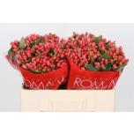 Hypericum sweet romance 40cm