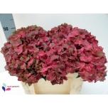 Hydrangea Hortensia mag chocolate 50cm