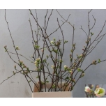 Chaenomeles appleblossom 65cm Ebaküdoonia oks tk
