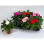 Impatiens new guinea grp mixed 13cm
