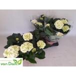 Hydrangea macrophylla wudu 17cm