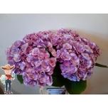 Hydrangea Hortensia papillon 50cm