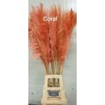 Cortaderia 120cm Coral
