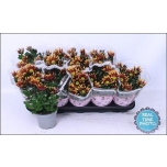Chrysanthemum Krüsanteem indicum grp sawadee 12cm