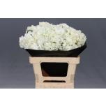 Hydrangea Hortensia 60cm valge