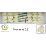 Anthurium Flamingolill Moments*12