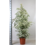 Ficus benjamina 30cm Viigipuu De Gante