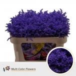 Solidago värvitud Lilac Dark