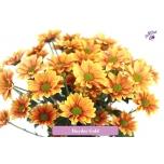 Chrysanthemum Krüsanteem Haydar Golden