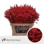 Solidago värvitud punane