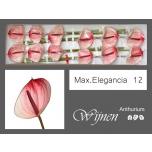 Anthurium Flamingolill Maxima Elegance 12X