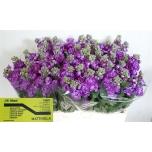Matthiola Levkoi Lavender