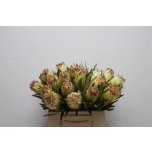 Protea limelight 40cm