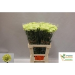 Dianthus Carnation Nelk Country