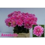 Dahlia Daalia 50cm Annabelle