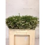 Wax Flower 60cm Un Ofir