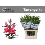 Lilium Liilia OR 90cm Tarrango 5+