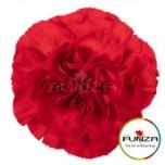 Dianthus Carnation Nelk Soho Red EQ 20TK