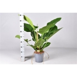 Philodendron imperial green 21cm
