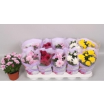 Chrysanthemum indicum grp double flowered mixed 12cm