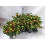 Solanum pseudocapsicum bartoli 14cm