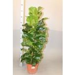 Ficus lyrata 24cm bambino