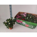 Rhododendron simsii grp mixed 6 varietys 12cm