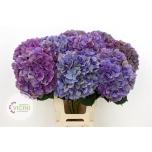 Hydrangea Hortensia glowing alps purple classic 65cm