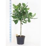 Ficus benghalensis 35cm Audrey