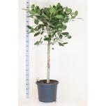 Ficus benghalensis 48cm Audrey