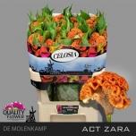 Celosia Mätashari 75cm Act Zara