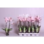 Phalaenopsis other pink 12cm