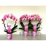Phalaenopsis other pink 12cm kaarel