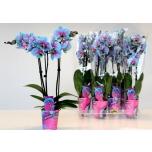 Phalaenopsis Kuuking 9cm MIX Wonder of Nature