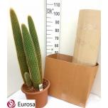 Pilosocereus chrysostele Kaktus 30cm