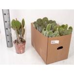 Opuntia microdasys 17cm