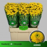 Chrysanthemum Krüsanteem Santini Aurinko 55cm