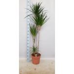 Dracaena Draakonipuu Marginata 30cm