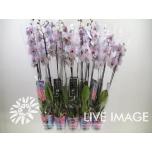 Phalaenopsis Kuuking paint blue-pink 12CM